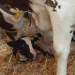 Rustige boerencamping Drenthe: geboorte van een kalfje